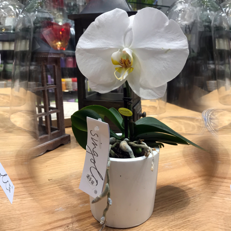 Orchid Single Stem White